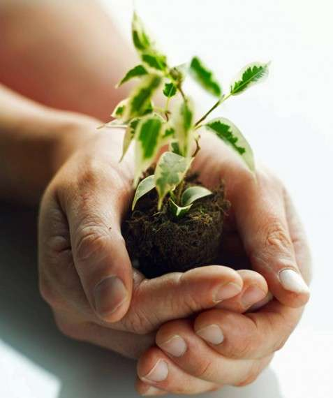 """Οι """"Δρυάδες"""" παρέχουν σπόρους ή σπορόφυτο καθαρών ποικιλιών -Δωρεάν- και οι καλλιεργητές οφείλουν να φροντίσουν τουλάχιστον πέντε φυτά μίας ποικιλίας και το 30% με 50% της παραγωγής να την κρατήσουν για σπόρο."""