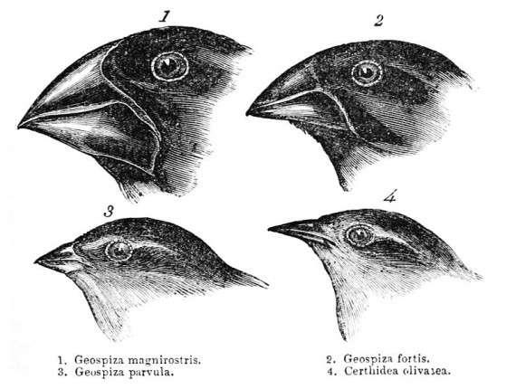 Οι ελαφρώς παραλλαγμένοι σπίνοι του Δαρβίνου από τα νησιά Γκαλάπαγκος.