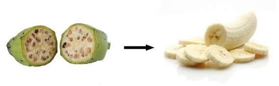 Από την άγρια Musa Balbisiana στην μπανάνα Cavendish