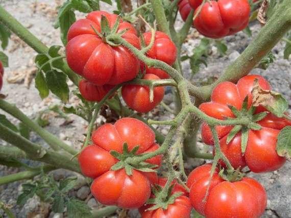 Οι παραδοσιακές ποικιλίες όπως πχ τα φασόλια Πρεσπών ή το ντοματάκι Σαντορίνης ή τα μήλα Τριπόλεως αποτελούν ένα δημόσιο αγαθό ενώ οι εταιρικές αποτελούν ιδιωτικό αγαθό καθώς καλύπτονται είτε από δικαιώματα πνευματικής ιδιοκτησίας ή από πατέντες.