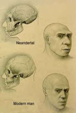 Σύγκριση των κρανίων Νεάντερταλ και σύγχρονου ανθρώπου