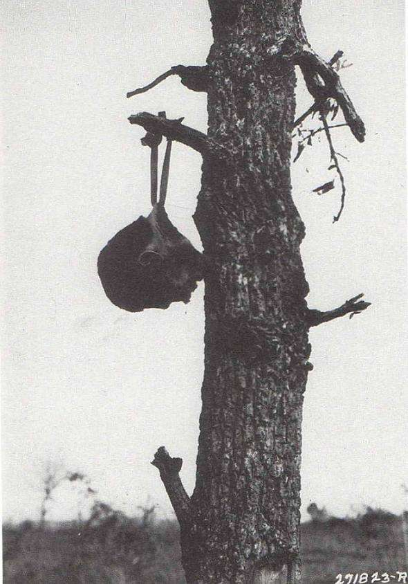 Κομμένο κεφάλι Ιάπωνα, δεμένο με ιμάντα κράνους σε κλαδί δέντρου. Φρικαλεότητες από τη μεριά των Συμμάχων δεν δημοσιεύονταν.