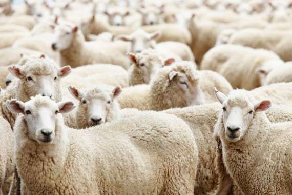 κοπάδι πρόβατα