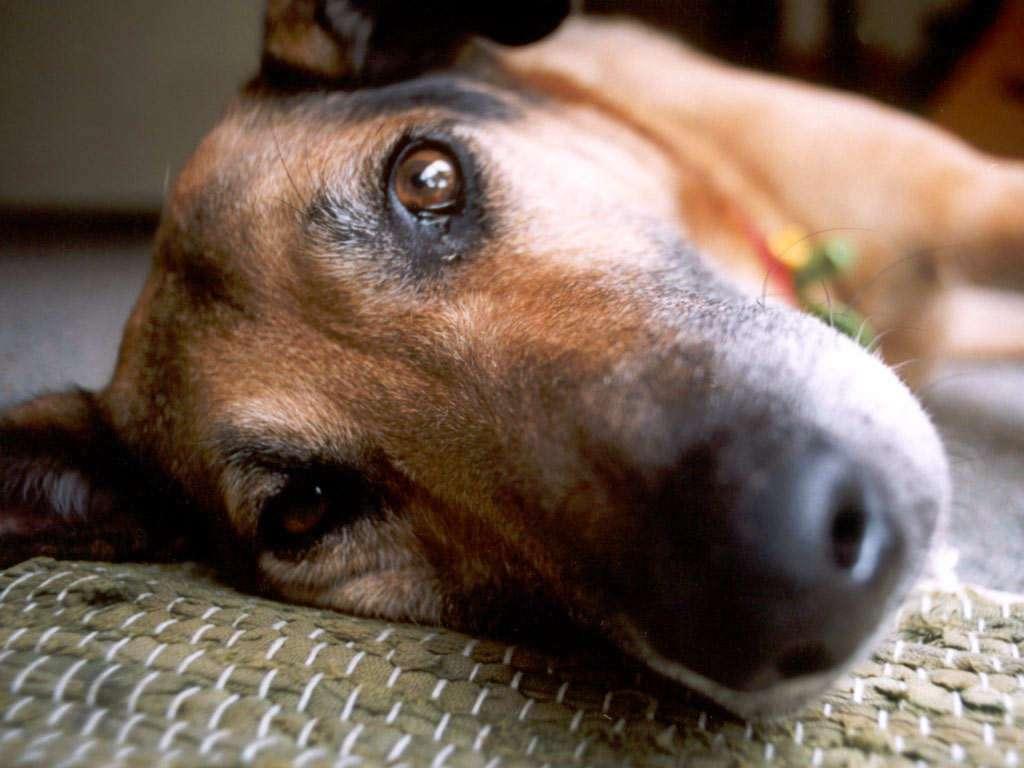 Ο λυγμός του σκύλου