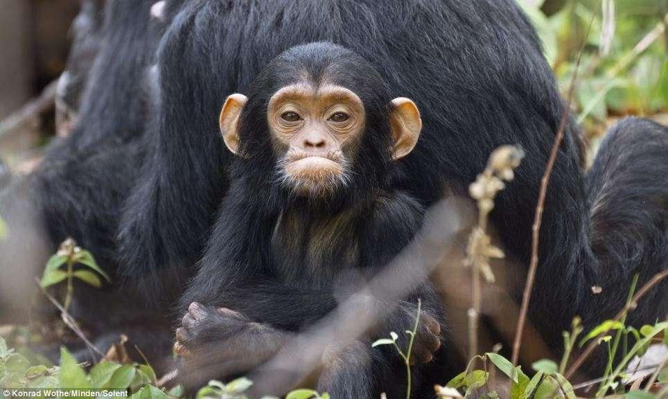 """""""Αν συγκρίνουμε τη μαθησιακή ικανότητα των χιμπατζήδων και των παιδιών"""" γράφει ο εξελικτικός βιολόγος Τόμας Γιούνκερ, """"βλέπουμε ότι τα παιδιά έχουν πολύ μεγαλύτερη ακρίβεια στην αντιγραφή"""