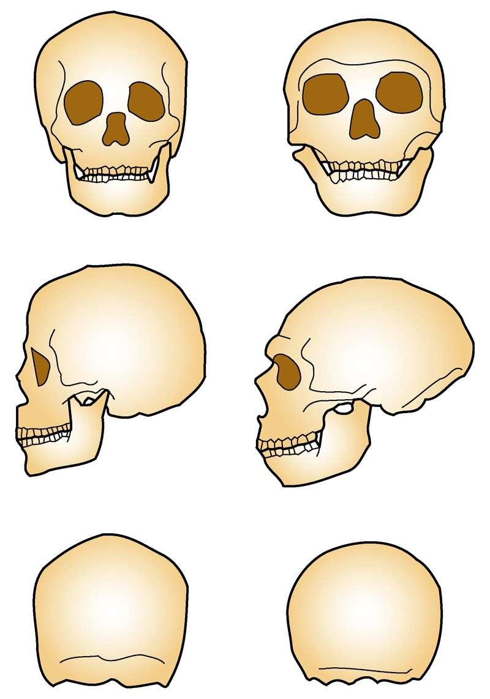 Σύγκριση κρανίου του Χόμο Σάπιενς (αριστερά) και του Νεάντερνταλ (δεξιά).