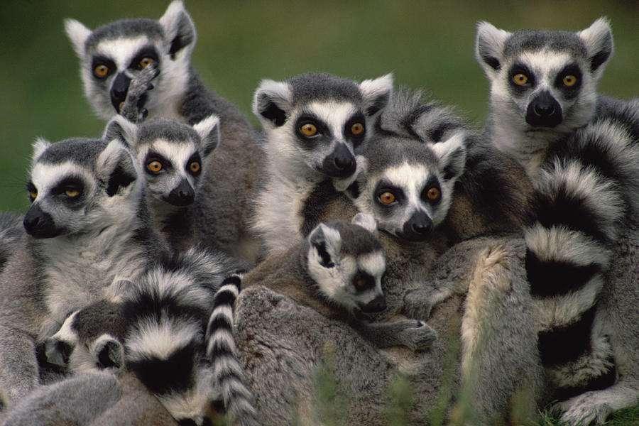 Ο λεμούριος πίθηκος είναι ένα είδος που πασχίζει να αποφύγει την εξαφάνισή του τα επόμενα χρόνια και το 94% όλων των λεμούριων απειλούνται με εξαφάνιση, όχι μόνο λόγω της καταστροφής του φυσικού τους περιβάλλοντος στη Μαδαγασκάρη από παράνομη υλοτομία αλλά και του κυνηγιού.