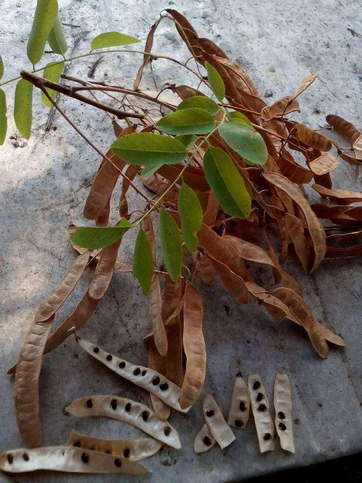 Η Ροβίνια η ψευδοακακία έχει εγκλιματιστεί στην Ελλάδα. Συχνά το βρίσκουμε στα παρτέρια των δρόμων ως καλλωπιστικό φυτό. Είναι φυλλοβόλο και την άνοιξη ανθίζει με τσαμπιά από αρωματικά λουλούδια συνήθως λευκά και σπανίως ροζ ανάλογα με την ποικιλία. Ωφέλιμο, ανθεκτικότατο, κτηνοτροφικό και μελισσοκομικό φυτό, πολλαπλασιάζεται πολύ εύκολα διά σποράς· αξιοποιεί ακόμα και άγονα εδάφη.