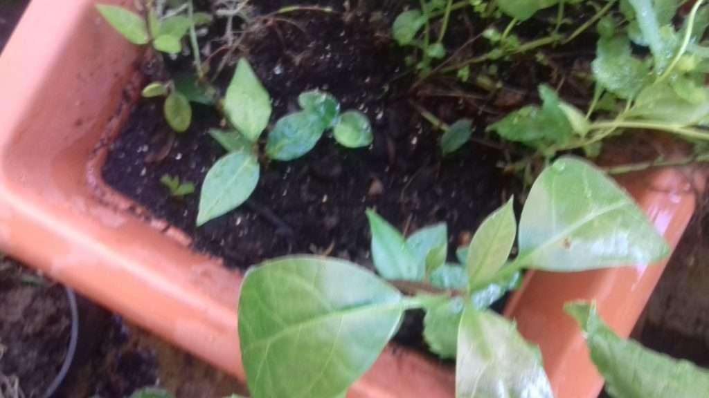 Σπορόφυτα καρυδιάς και δαμασκηνιάς σε γλάστρα με λουλούδια.
