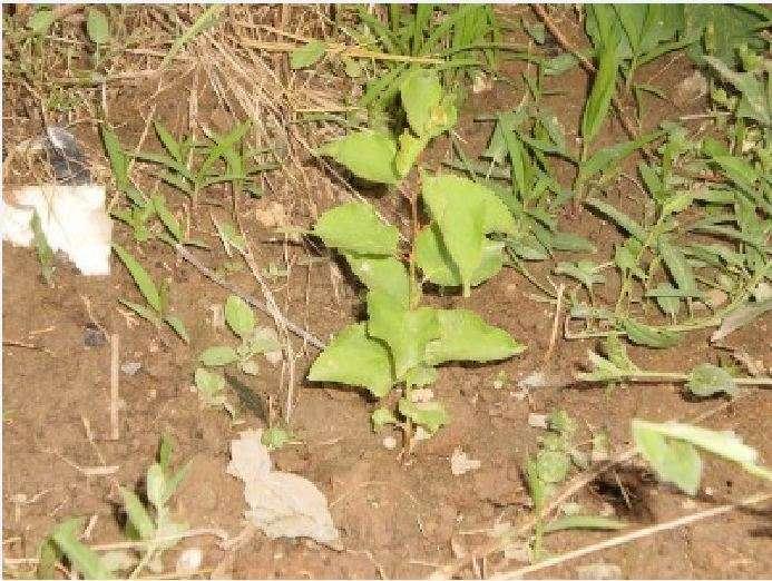Τον περασμένο Ιανουάριο σε διάφορα σημεία του Πολυκάστρου βάλαμε απ' ευθείας στο χώμα κουκούτσια από βερίκοκο. Σήμερα, όπως βλέπετε, είναι ήδη δεντράκια 35 έως 40 εκατοστών.