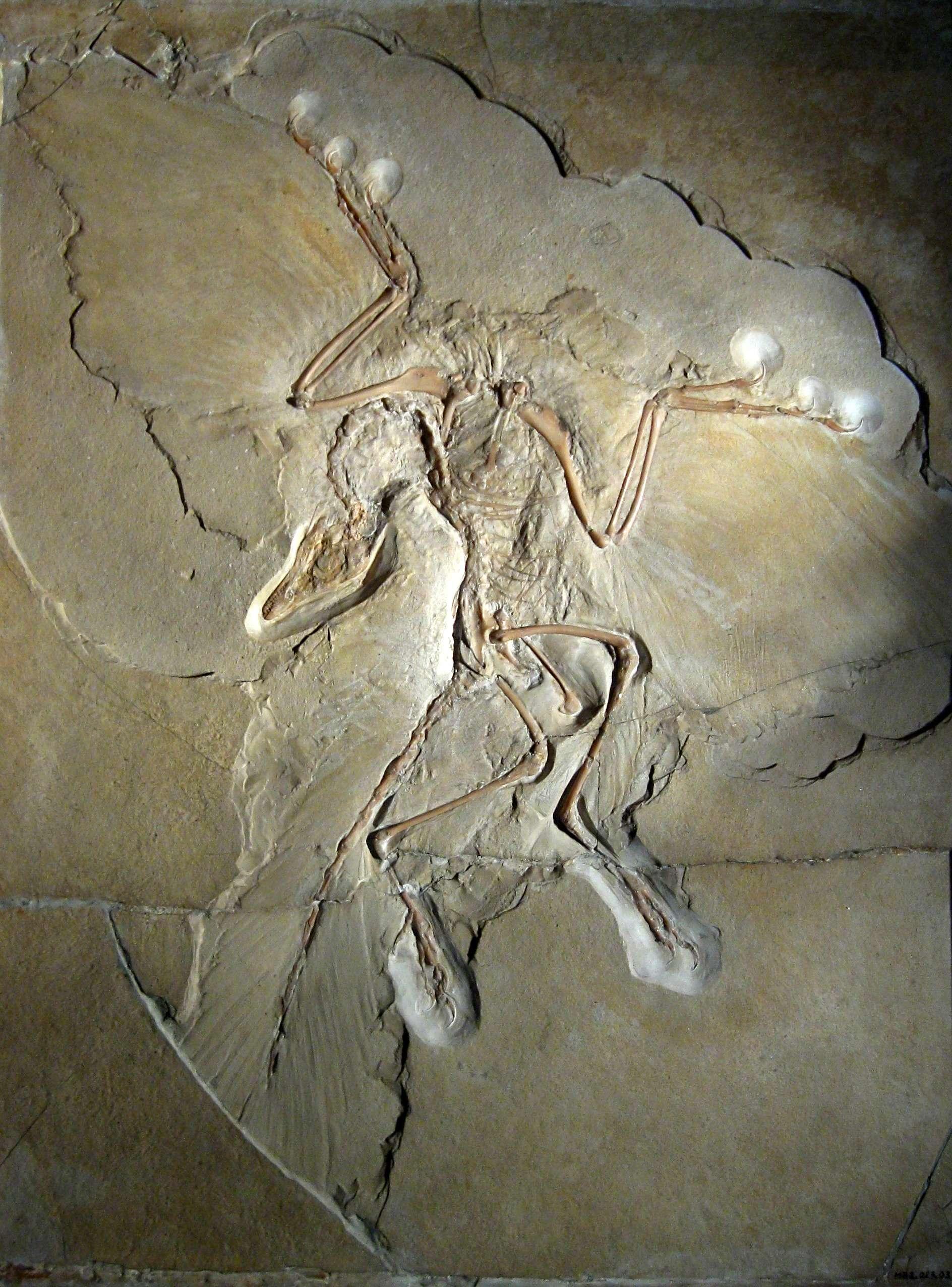 Ο αρχαιοπτέρυξ ή αρχαιοπτέρυγα (Archaeopteryx), αναφερόμενο μερικές φορές και με το γερμανικό του όνομα, Urvogel («το πρώτο πτηνό»), είναι το αρχαιότερο και πιο πρωτόγονο γένος πτηνών που είναι γνωστό. Το όνομα προέρχεται από τα αρχαία ελληνικά ἀρχαῖος και πτέρυξ.