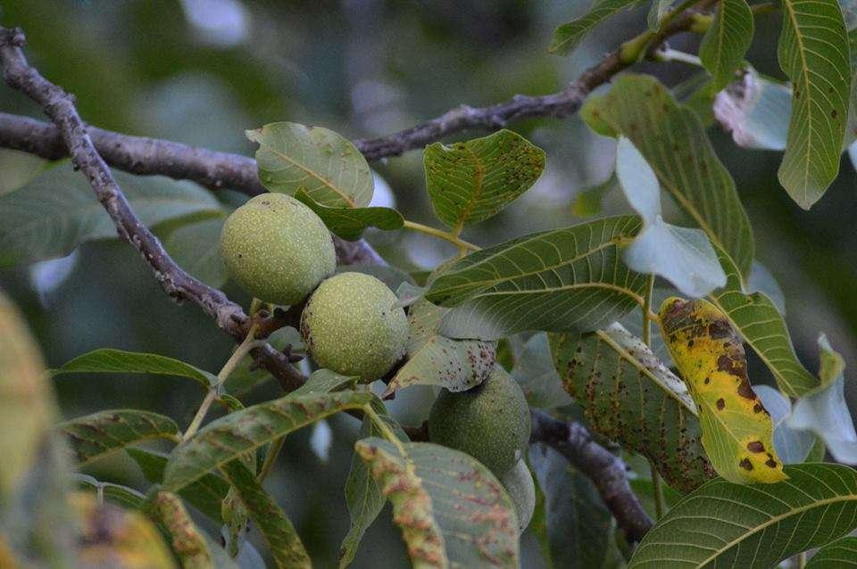 Το συγκεκριμένο έργο θα εστιάσει στις ποικιλίες που έχουν προσαρμοστεί σε ορεινά και ημιορεινά περιβάλλοντα της Βόρειας Ελλάδας και σε διάφορα είδη όπως –ενδεικτικά- αχλαδιές, κερασιές, βυσσινιές, δαμασκηνιές, μηλιές, καθώς και στην Καστανιά, την Κυδωνιά, την Καρυδιά, τη Συκιά κ.α..