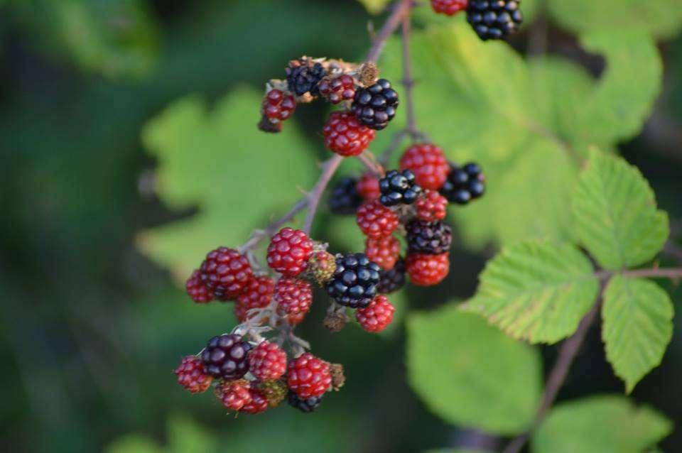 Οι ποικιλίες και τα είδη για τα οποία θα εκτιμηθεί ότι έχουν δυνάμει εμπορική αξία, θα αναπαραχθούν από τα συνεργαζόμενα φυτώρια σε συνεργασία με τα ερευνητικά ιδρύματα, τα οποία είναι εξειδικευμένα στα οπωροφόρα δέντρα, τις παραδοσιακές ποικιλίες και τα αυτοφυή φυτά.