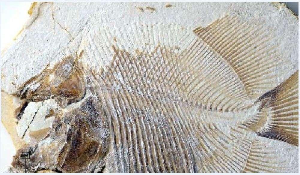 Το Piranhamesodon pinnatomus ζούσε πριν από 152 εκατομμύρια χρόνια παράλληλα με τους δεινόσαυρους