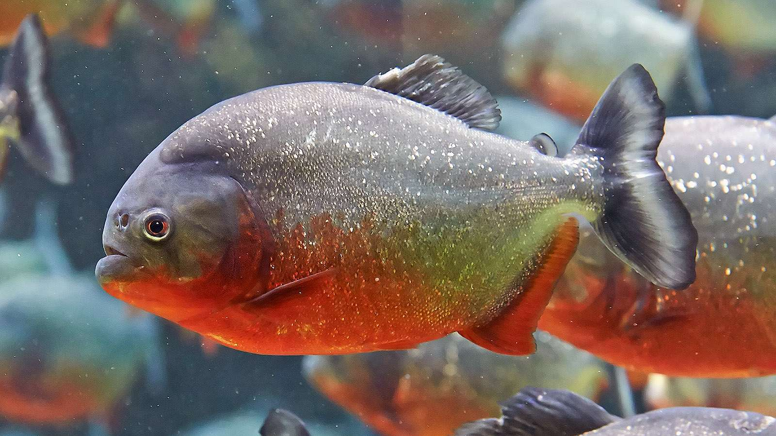 Ως Πιράνχας αναφέρονται διάφορα γένη παμφάγων ψαριών που ζουν στα γλυκά νερά της Νότιας Αμερικής και κυρίως του Αμαζονίου. Τα πιράνχας χρησιμεύουν ως τροφή για τις κοινότητες των ιθαγενών στην περιοχή του Αμαζονίου.