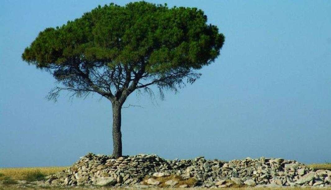 Οι απαξιωμένοι «πευκιάδες» και η προσφορά που παραβλέπεται… Ωδή στο ελληνικό πεύκο