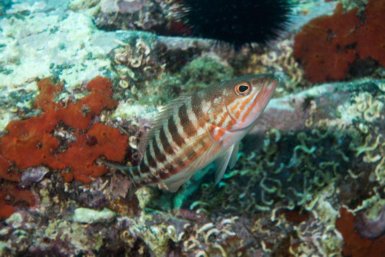 Ο χάνος (από την αρχαία ονομασία χάννη, επιστημονική ονομασία Serranus cabrilla) είναι είδος θαλάσσιου ψαριού.