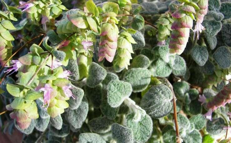 ο Δίκταμο (η έρωντας) (επιστημονική ονομασία: Origanum dictamnus, Ορίγανον το δίκταμνον[1]) είναι ένα ενδημικό φυτό που συναντάται στην Κρήτη και χρησιμοποιείται ως ρόφημα.