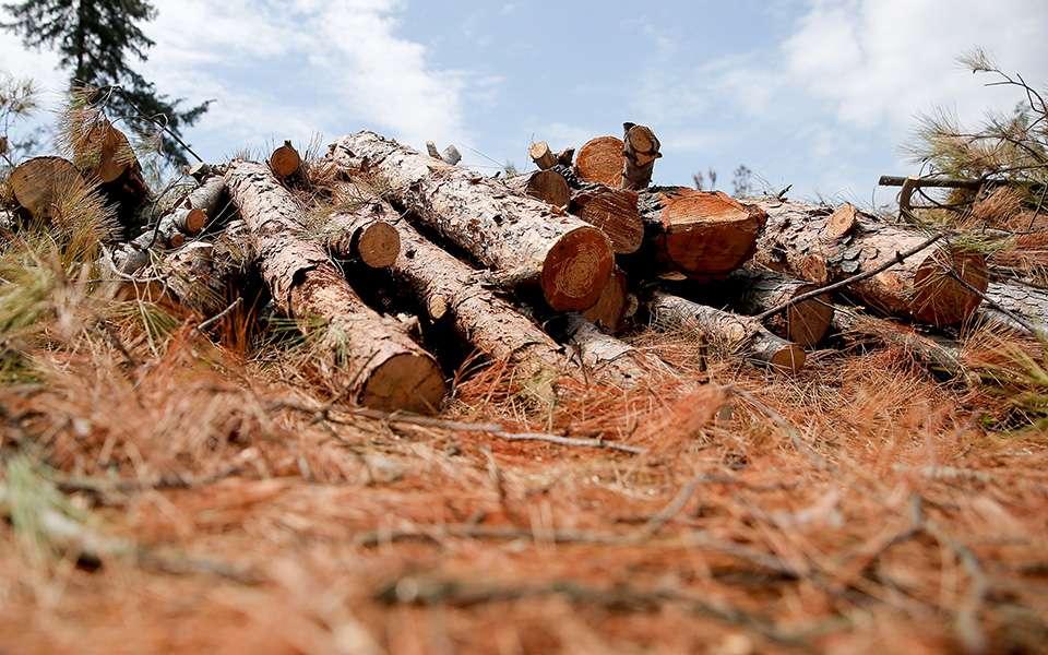 Η δασική υπηρεσία έχει ξεκινήσει την απομάκρυνση πεύκων στο Σέιχ Σου με υλοτόμηση μιας έκτασης 3.500 στρεμμάτων, από την οποία θα κοπούν όλα τα δέντρα, τα οποία έχουν ξηρανθεί λόγω της ανάπτυξης ενός φλοιοφάγου εντόμου που προσβάλλει τα πεύκα (Tomicus piniperda).