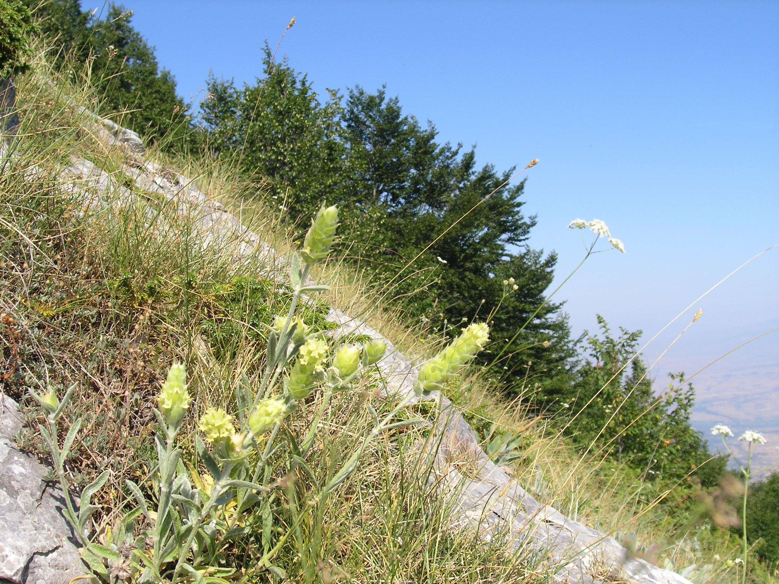 Τοπικοί φορείς καταγγέλλουν πως στον Πάρνωνα η περιοχή εξάπλωσης του σιδερίτη (τσάι του βουνού) έχει περιοριστεί αρκετά τα τελευταία χρόνια, λόγω της υπέρμετρης συλλογής και παράνομης εμπορίας του. Το ίδιο έχει συμβεί με τη ρίγανη, τη μαντζουράνα, το δίκταμο κ.ά.