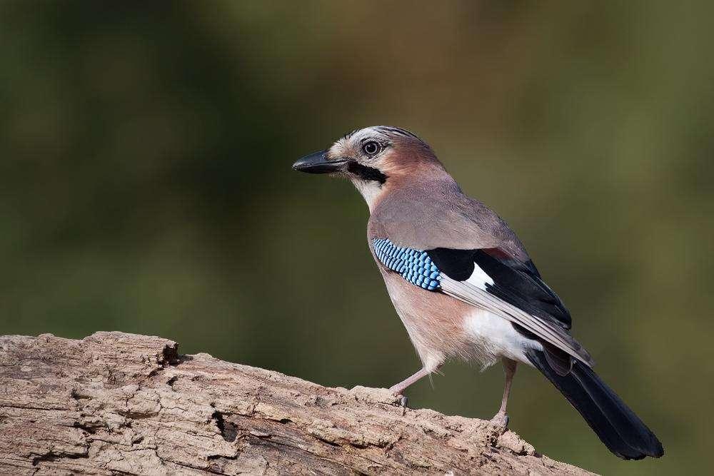 Η κίσσα είναι ένα πουλί που παίζει σημαντικό ρόλο στην αναδάσωση των βελανιδιών.