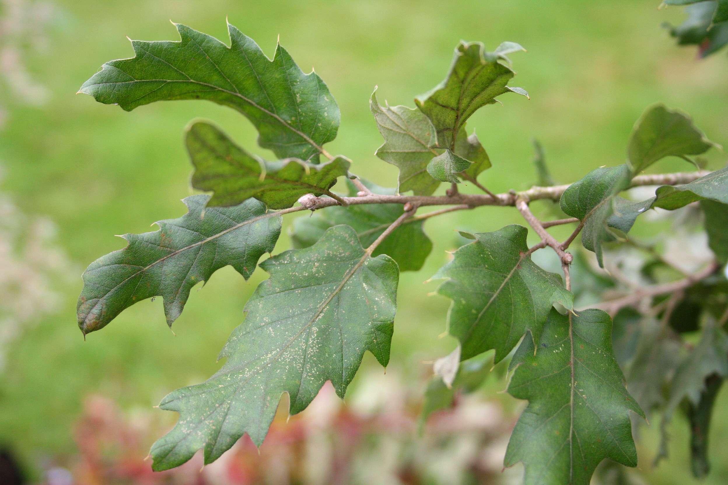Το δέντρο είναι επίσης γνωστό ως καταφύγιο βιοποικιλότητας, παρέχοντας ανάμεσα στα κλαδιά του και γύρω από τη βάση του κατοικία σε αναρίθμητoυς οργανισμούς.