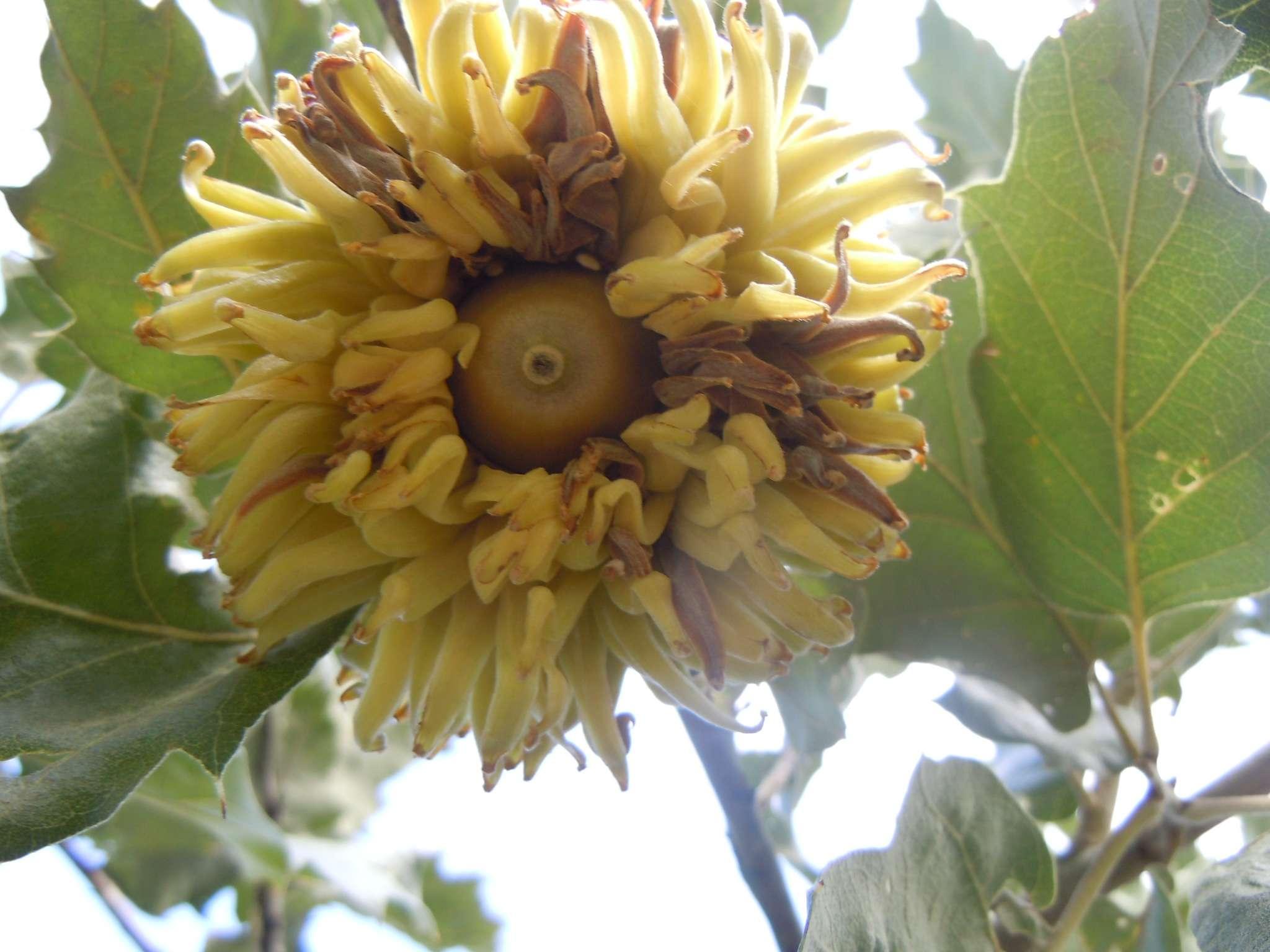 Η ήμερη βελανιδιά (Quercus ithaburensis Decaisne subsp. macrolepis syn. Quercus aegilops) είναι δέντρο φυλλοβόλο ή ημιαειθαλές, ολιγαρκές, θερμοξηρόβιο και φωτόφιλο, που ξεχωρίζει από τις άλλες βελανιδιές λόγω των τεράστιων διακοσμητικών κυπέλλων, τα οποία μπορεί να έχουν βάθος 4 εκ. με όμορφα χνουδωτά, μακριά λέπια που γυρίζουν προς τα έξω.