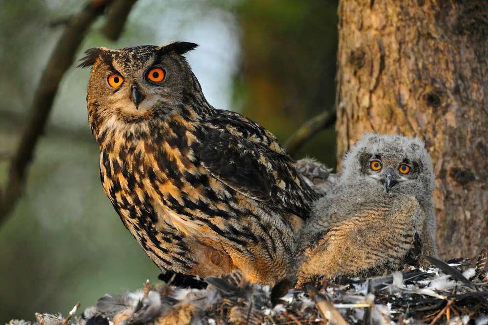 Μπούφος είναι η κοινή ονομασία του γένους Bubo και με την ευρύτερη έννοια του γένους Asio, Γλαυκόμορφων πτηνών της οικογένειας Stringidae.