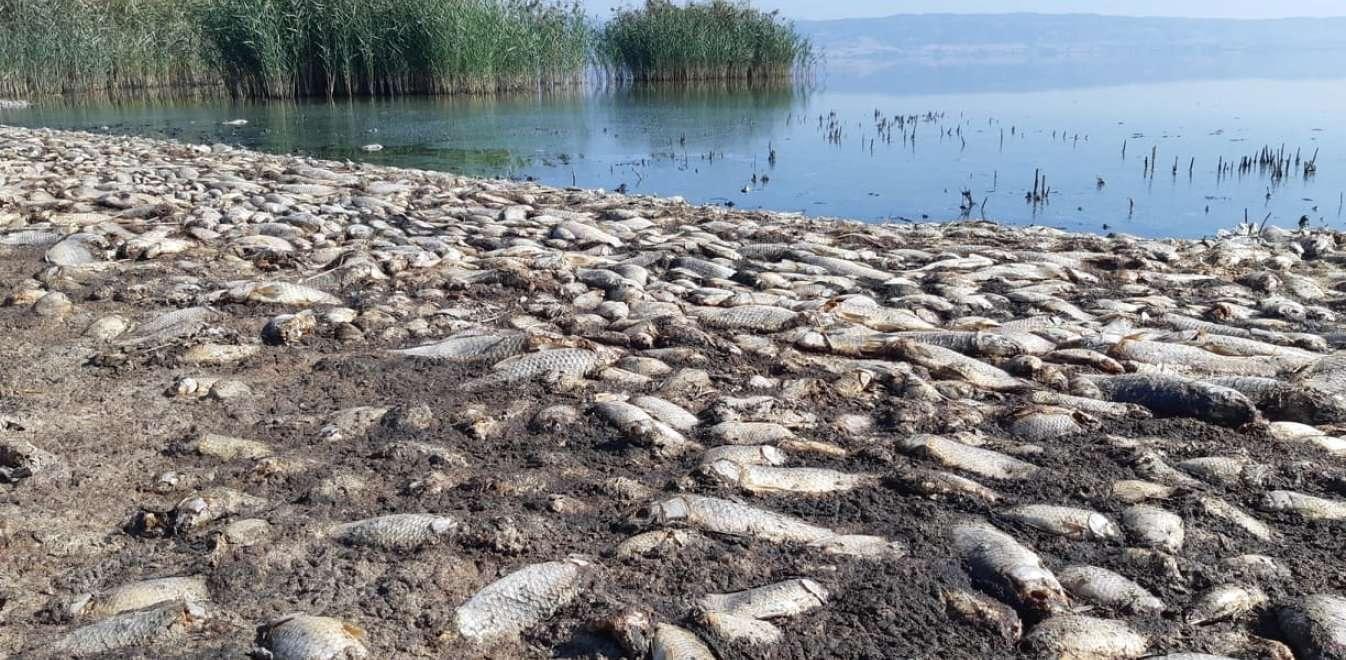 Στην Λίμνη Κορώνεια εντοπίζονται τις τελευταίες δέκα μέρες χιλιάδες νεκρά ψάρια στις όχθες. Πριν να στεγνώσει εντελώς η λίμνη το οξυγόνο καταναλώνεται λόγω του ευτροφισμού, δηλαδή της υπέρμετρης ανάπτυξης του φυτοπλαγκτού το οποίο όταν αποδομείται στην συνέχεια οδηγεί σε κατανάλωση του οξυγόνου από τους οργανισμούς που το αποσυνθέτουν.