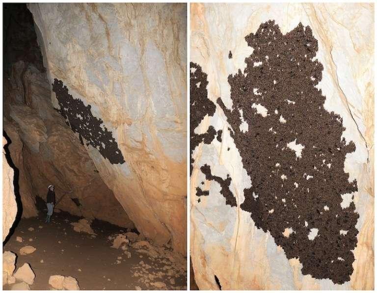 Τμήμα της χειμερινής αποικίας πτερυγονυχτερίδων (Miniopterus schreibersi) στο σπήλαιο των Λιμνών. (Παναγιώτης Γεωργιακάκης/ΜΦΙΚ_ΠΚ)