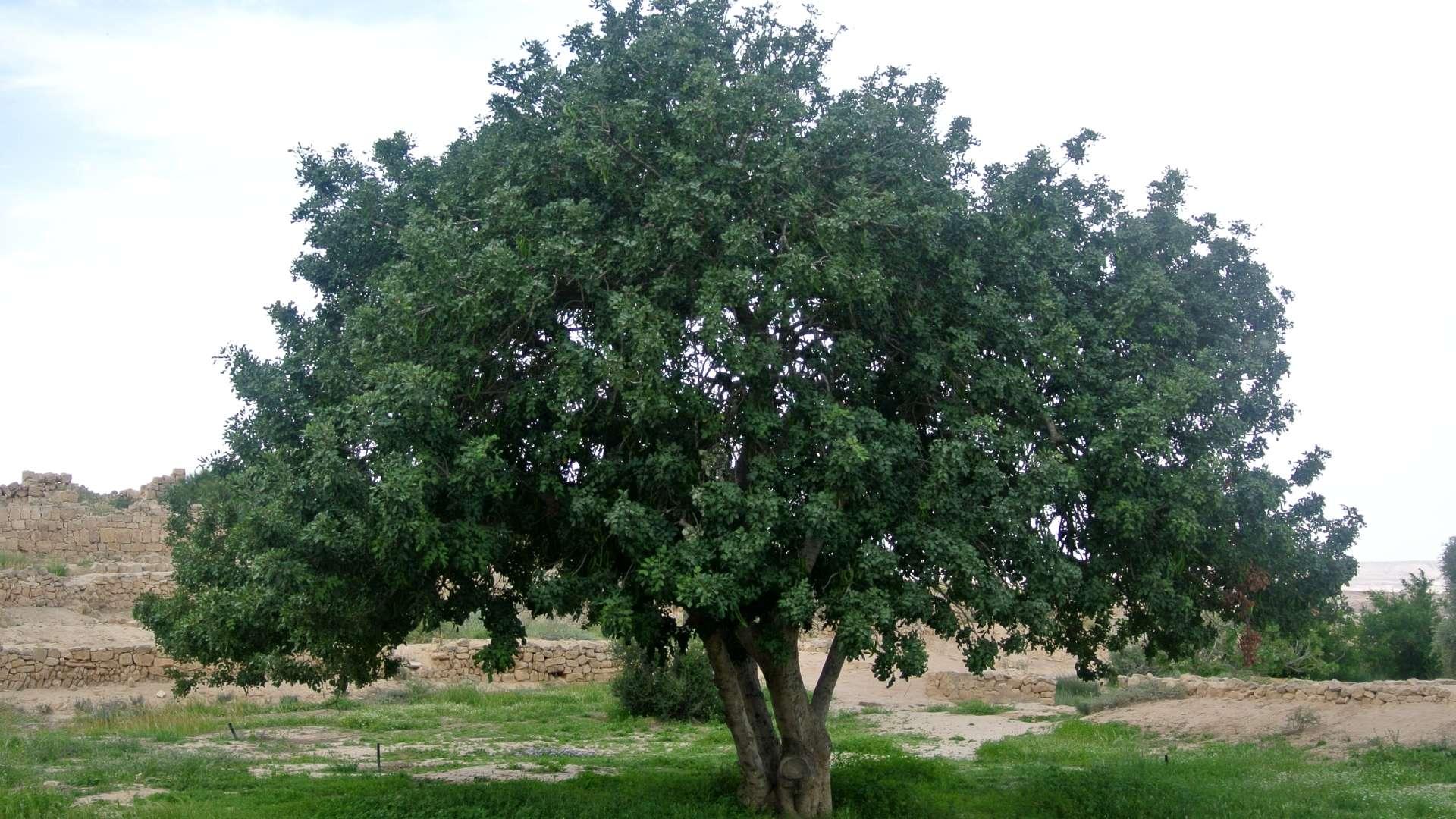 Η χαρουπιά καλλιεργείται εύκολα και ευδοκιμεί σε όλα τα εδάφη εκτός από τα υγρά. Δεν αντέχει σε χαμηλές θερμοκρασίες, προτιμά τις ηλιόλουστες θέσεις γι' αυτό καλλιεργείται συχνότερα σε θερμές εύκρατες ζώνες.