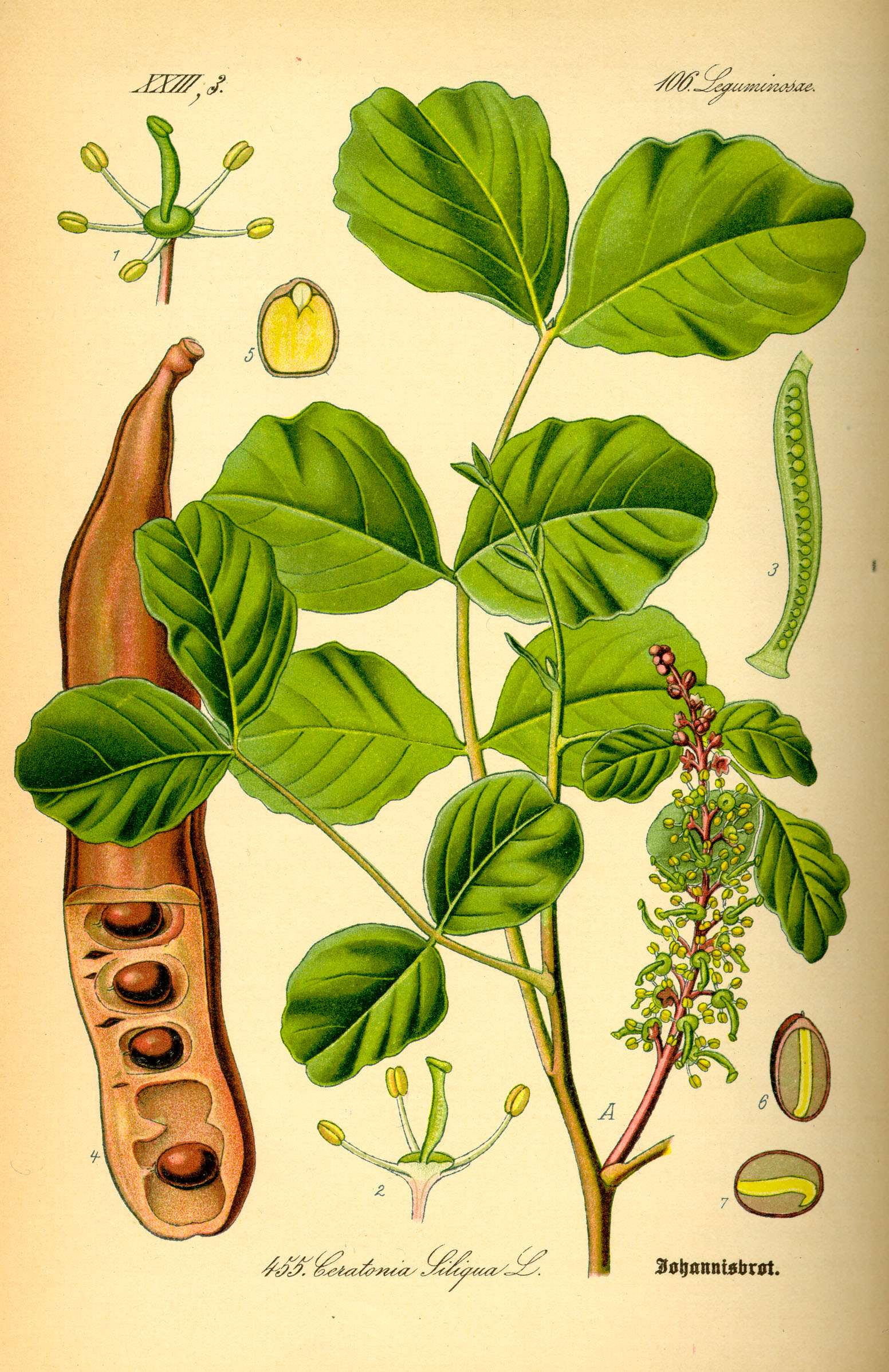 Το όνομα της το παίρνει από το σχήμα του καρπού της, του χαρουπιού, που θυμίζει ξύλινο κέρατο (ξυλοκέρατο).
