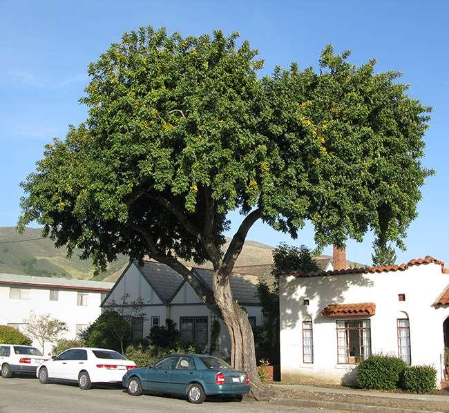Η χαρουπιά είναι γνωστή και ως κερωνιά, κερατιά, ξυλοκερατιά, κουντουριδιά. Το λατινικό της όνομα είναι Ceratonia siliqua και ανοίκει στην οικογένεια Φαβίδες ή Χεδρωπά (Leguminosae).