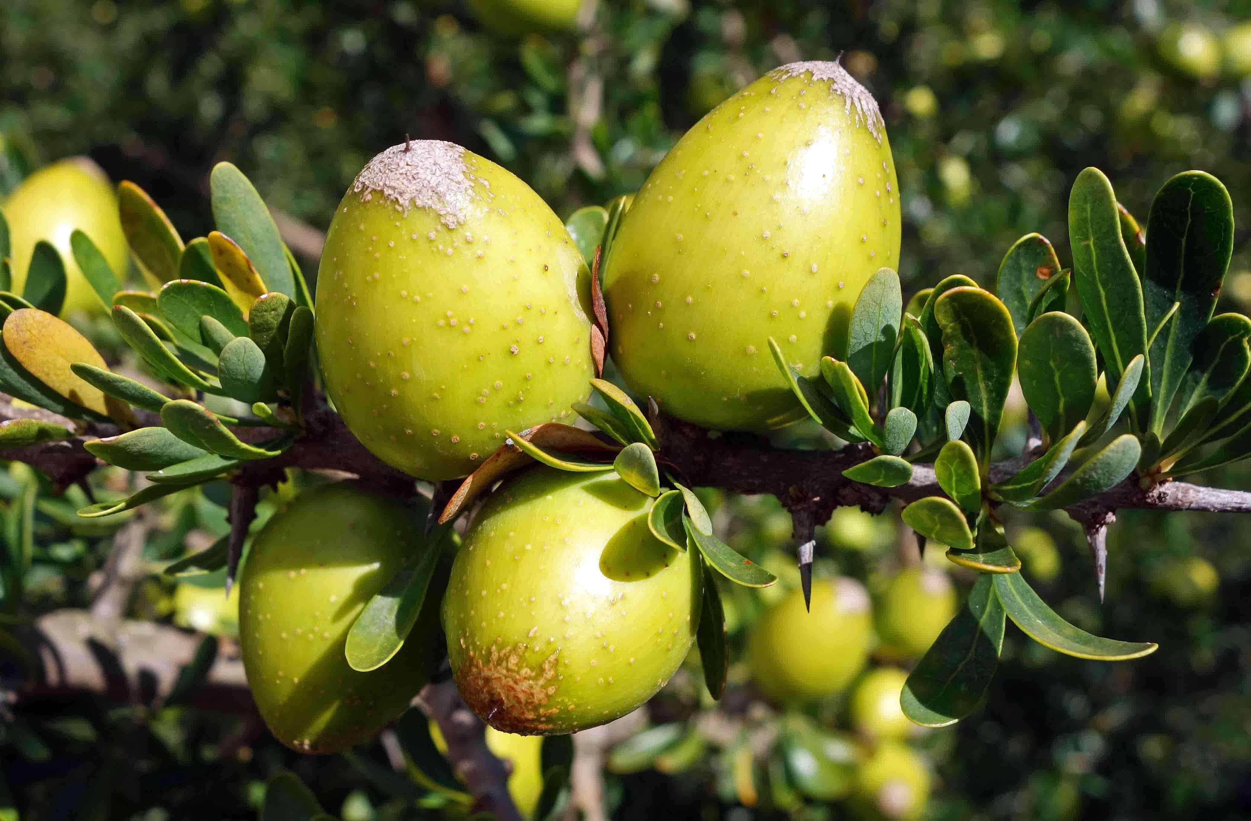 Το «ευλογημένο» δέντρο «Αργκάν» του Μαρόκου.