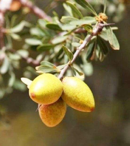 Στην κοιλάδα Sous εκτός από την ελιά, ευδοκιμεί κι ένα ακόμη αιωνόβιο δέντρο με την επιστημονική ονομασία Argania spinosa, γνωστό περισσότερο ως αργκάν (argan).