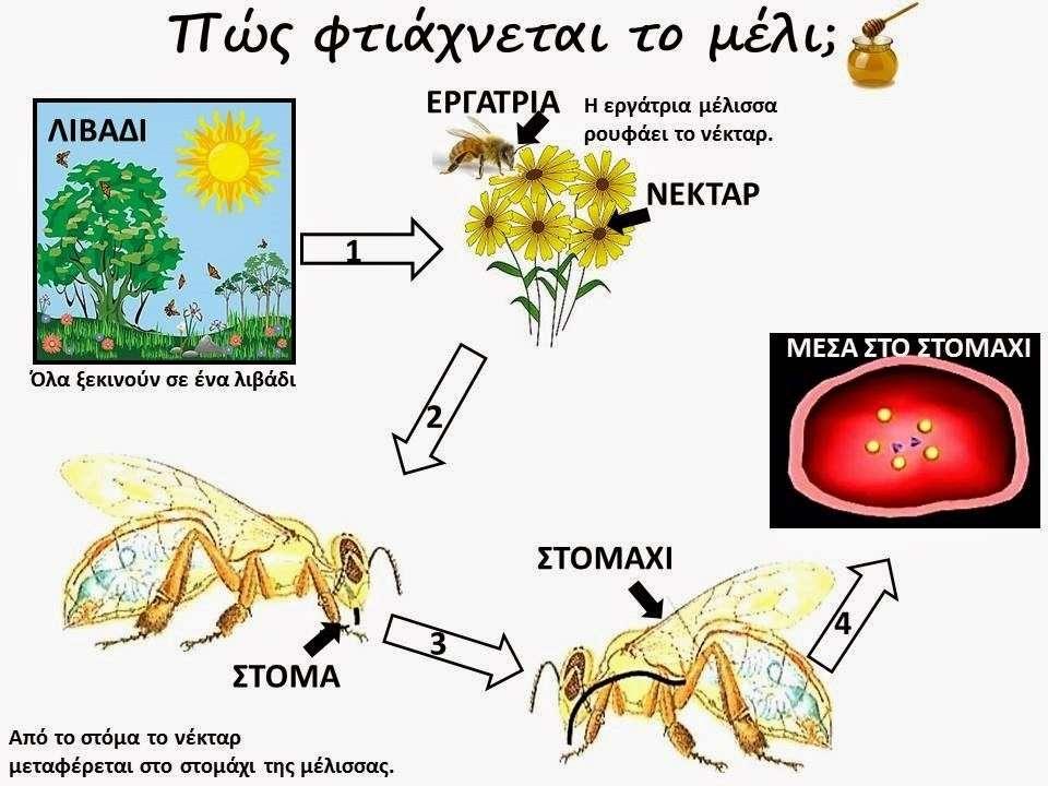 Πώς οι μέλισσες φτιάχνουν μέλι.