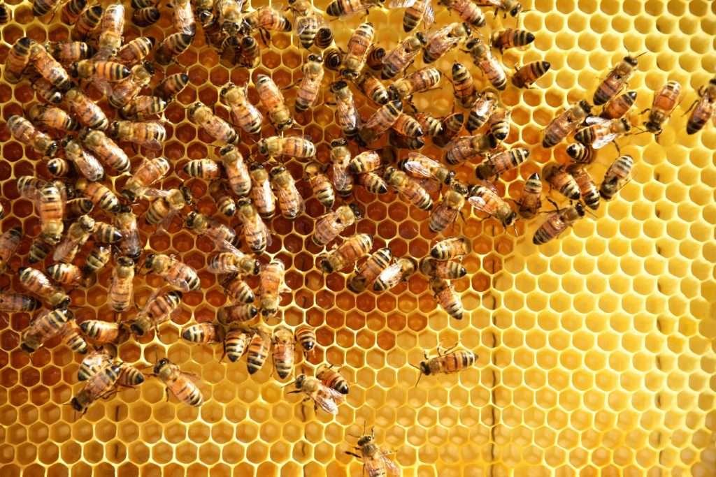 Μέλι ασφράγιστο, μέλισσες και γόνος σε κηρύθρα.