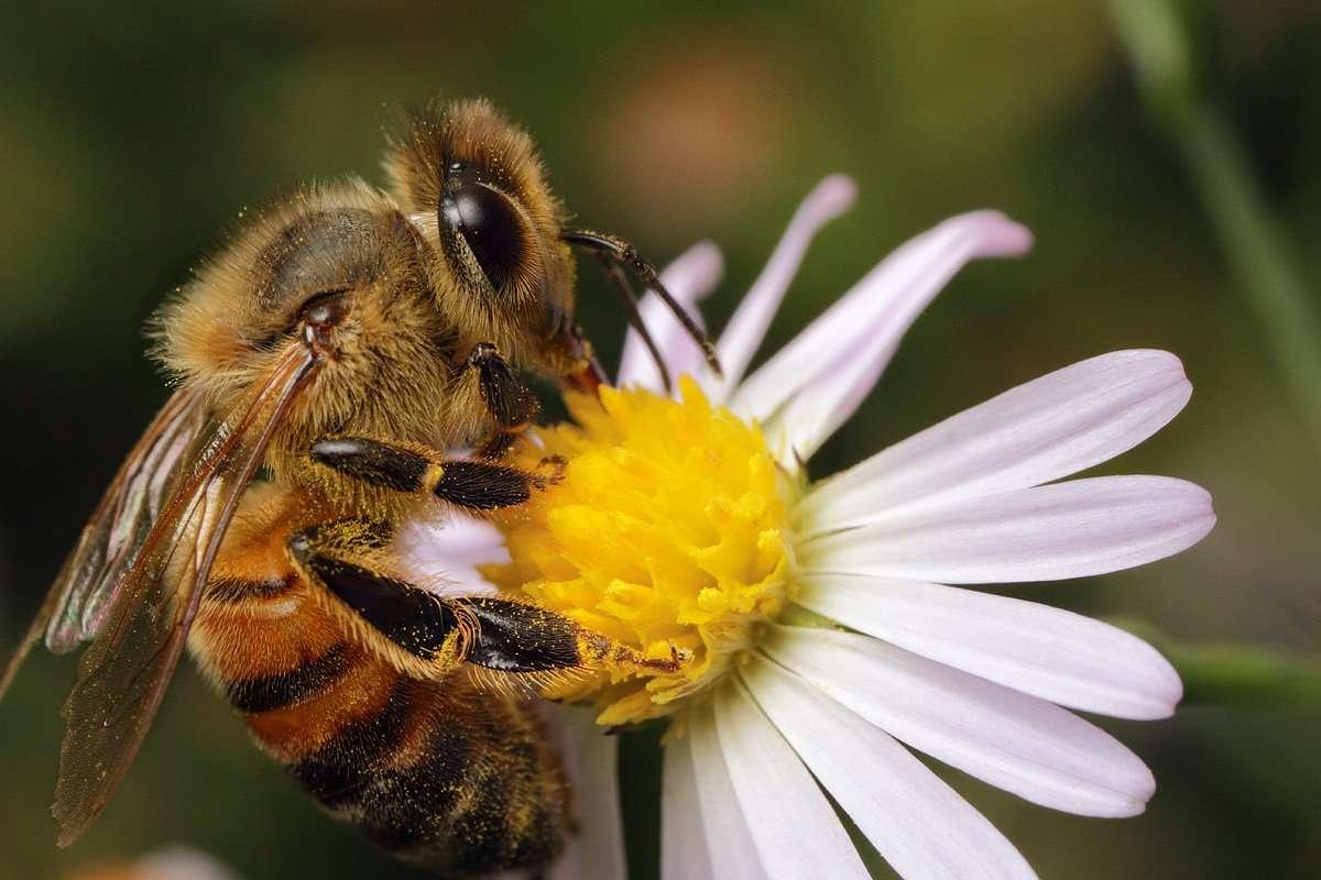 """Η δυτική μέλισσα ή η ευρωπαϊκή μέλισσα ή κοινή (Apis mellifera) είναι η πιο συνηθισμένη από τα 7-12 είδη μελισσών παγκοσμίως. Ετυμολογικά το γένος Apis είναι η λατινική λέξη  """"μέλισσα"""", και mellifera σημαίνει  """"μέλι που φέρει"""", αναφερόμενη στην παραγωγή του είδους του μελιού."""