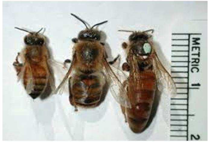 Τάξεις μελισσών