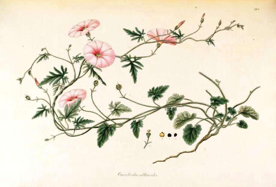 Ο John Sibthorp (1758-1796) ήταν καθηγητής στο Πανεπιστήμιο της Οξφόρδης (1784-1796). Το πρώτο ταξίδι του Sibthorp στην Ελλάδα έγινε το 1786-1787 και το δεύτερο το 1794-1795.O Sibthorp γνώριζε το έργο του Θεόφραστου (372-287 πΧ) για την χλωρίδα της Ελλάδας και του Διοσκουρίδη (40-90 μΧ) για την φαρμακευτική χρήση φυτών.