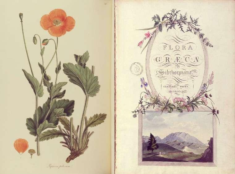 Flora Graeca (Ελληνική Χλωρίδα) είναι ένα δεκάτομο έργο το οποίο εκδόθηκε στο Λονδίνο το 1806-1840. Στο έργο αυτό περιγράφονται και εικονίζονται 966 αυτοφυή φυτά της Ελλάδας τα οποία μελέτησε ο John Sibthorp κατά τη διάρκεια των δυο ταξιδιών του στην Ελλάδα.