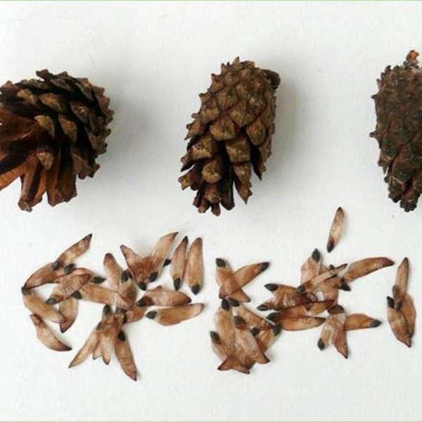 Σπόροι πεύκου. Pine seeds.