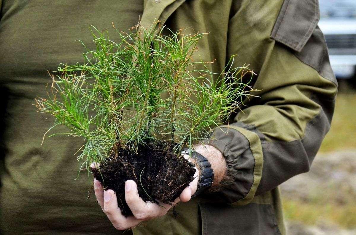 Όταν το δέντρο μας μεγαλώσει περίπου 30-40 εκατοστά μετά από 2-3 χρόνια είναι έτοιμο για να το φυτέψουμε στο έδαφος. Επιλέγουμε το φθινόπωρο όπου η ζέστη έχει ελαττωθεί κατά πολύ αλλά και που τώρα ο καιρός είναι βροχερός ώστε το δέντρο να έχει την υγρασία που χρειάζεται.