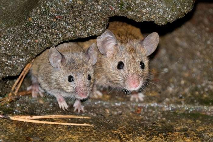 Όταν χρησιμοποιήθηκε το γονίδιο spike του WIV1-CoV σε διαγονιδιακά ποντίκια τα οποία είχαν, μετά από γενετική μετατροπή, τη δυνατότητα να εκφράζουν τον υποδοχέα ACE2 όπως τα ανθρώπινα κύτταρα, τα πειράματα έδειξαν ότι ο WIV1-CoV έχει πράγματι μεγάλη πιθανότητα εμφάνισης επιδημιών στον άνθρωπο και την μετάδοση ανάμεσα σε ανθρώπους.