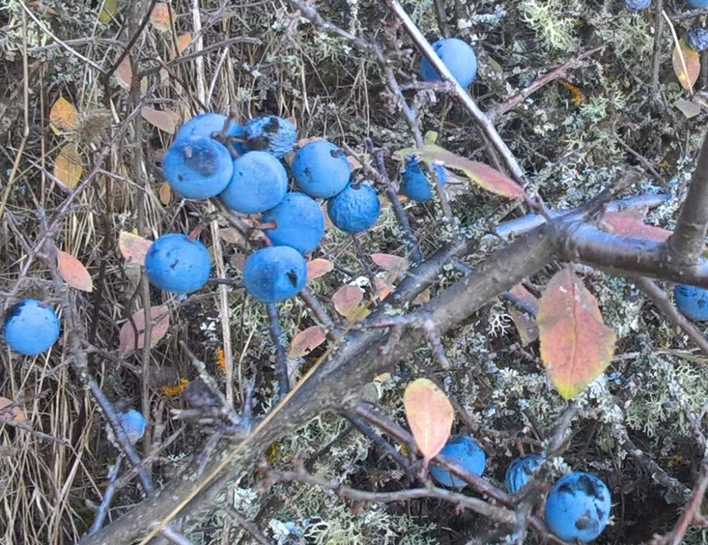 Τσαπουρνιά (Prunus spinosa)